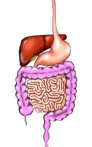 aparato-digestivo2